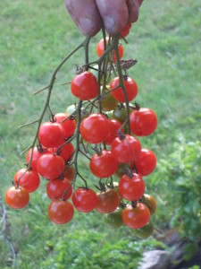 Ripe Tomatoes from the Vine